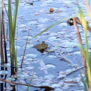 Frog-Pond