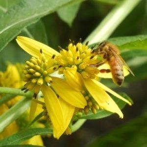 Beekeeping-bee-on-flower-500